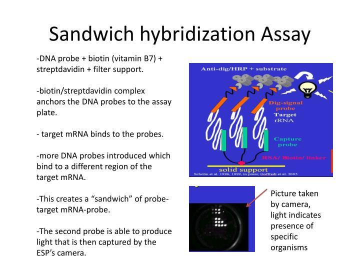Sandwich hybridization Assay