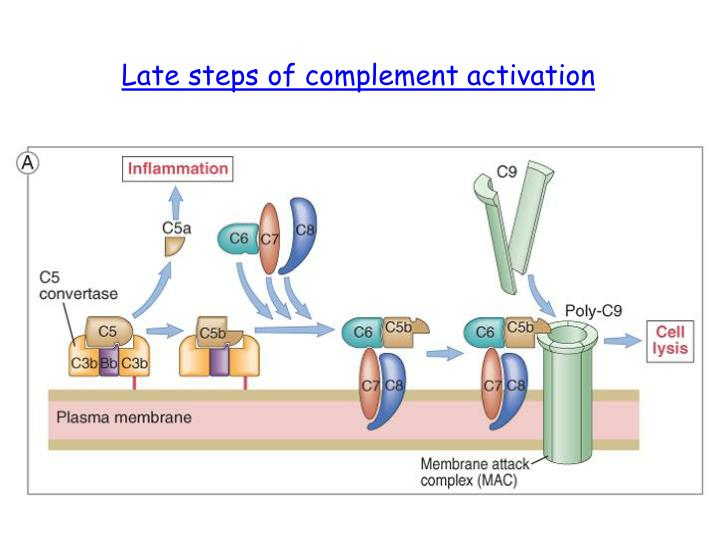 Late steps of complement activation