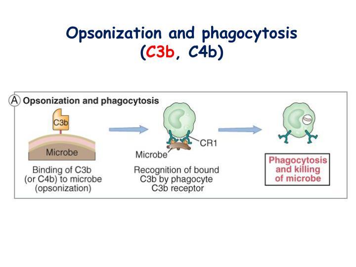 Opsonization and phagocytosis (