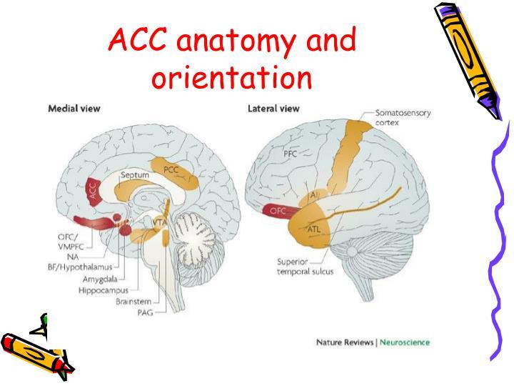 ACC anatomy and orientation
