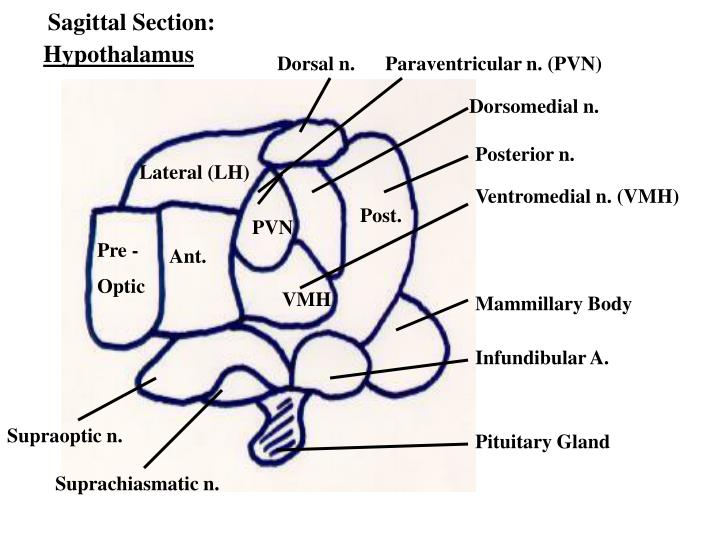 Sagittal Section: