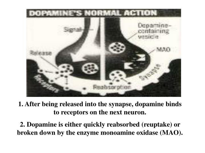 1. After being released into the synapse, dopamine binds to receptors on the next neuron.