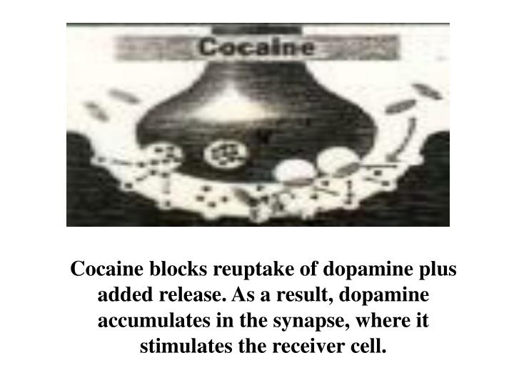 Cocaine blocks reuptake of dopamine plus added release. As a result, dopamine accumulates in the synapse, where it stimulates the receiver cell.