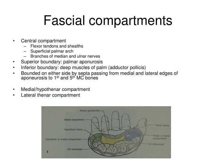 Fascial compartments