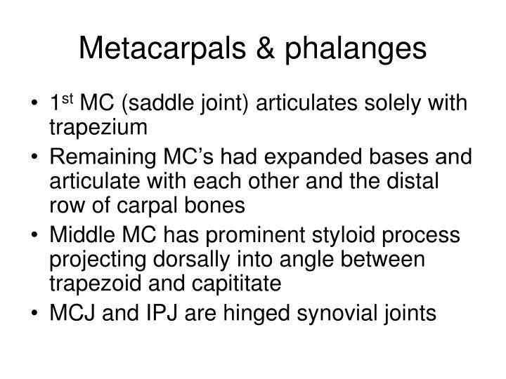 Metacarpals & phalanges