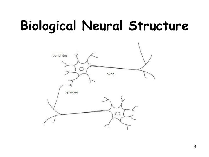 Biological Neural Structure