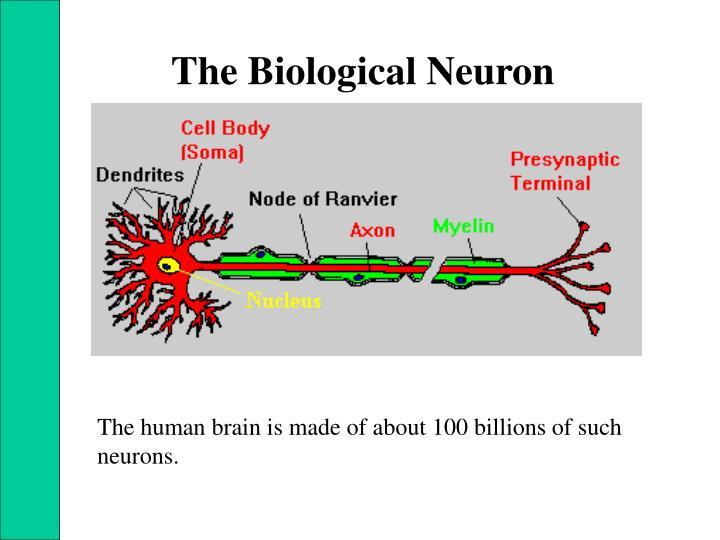 The Biological Neuron
