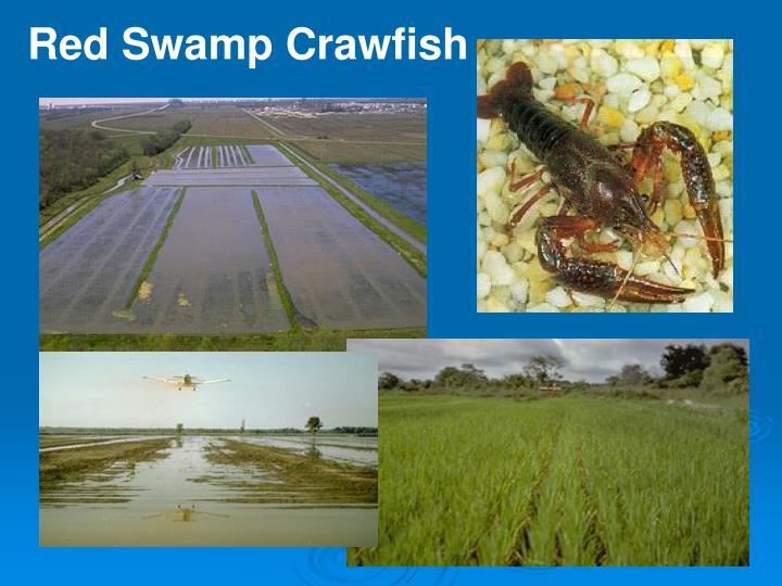Red Swamp Crawfish