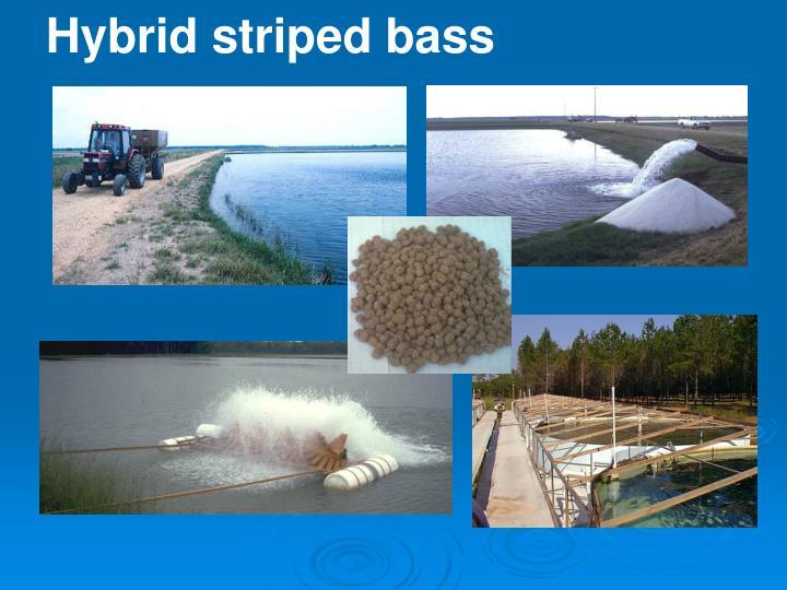 Hybrid striped bass