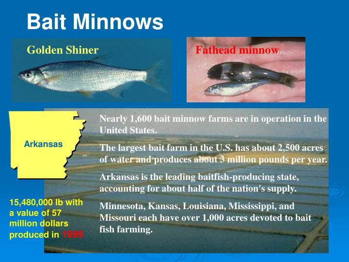 Bait Minnows