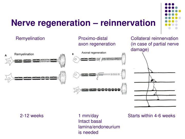 Nerve regeneration – reinnervation