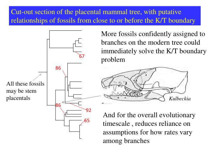 Cut-out section of the placental mammal tree, with putative relationships of fossils from close to or before the K/T boundary