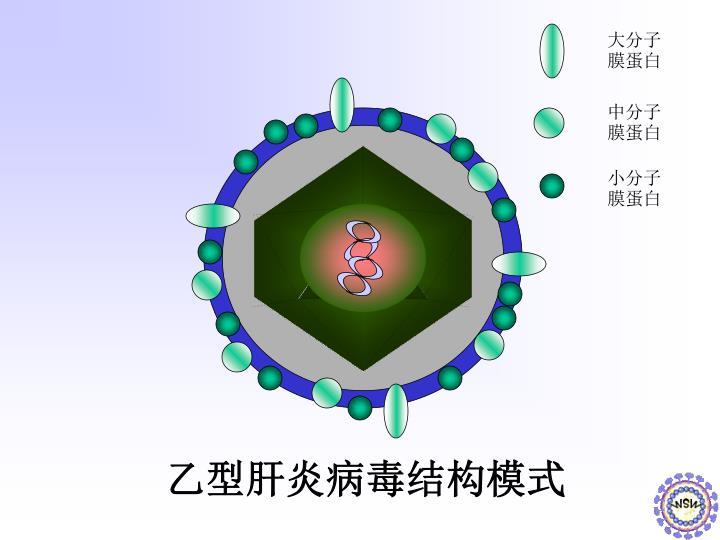 大分子膜蛋白