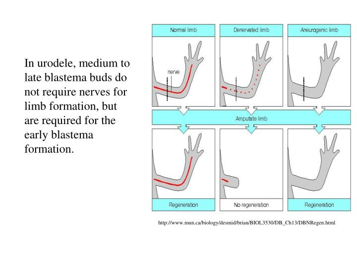 In urodele, medium to late blastema buds do not require nerves for limb formation, but are required for the early blastema formation.