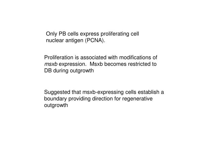 Only PB cells express proliferating cell nuclear antigen (PCNA).