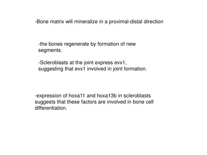 -Bone matrix will mineralize in a proximal-distal direction