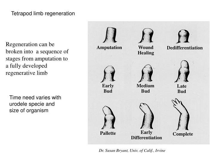 Tetrapod limb regeneration