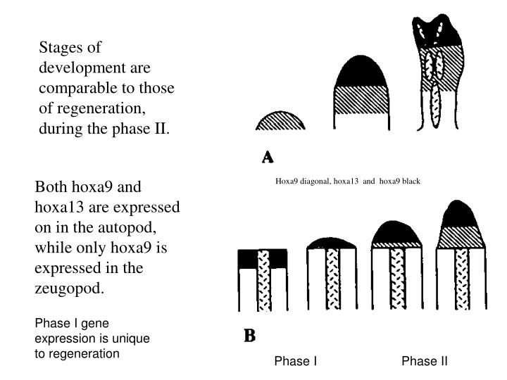 Stages of development are comparable to those of regeneration, during the phase II.