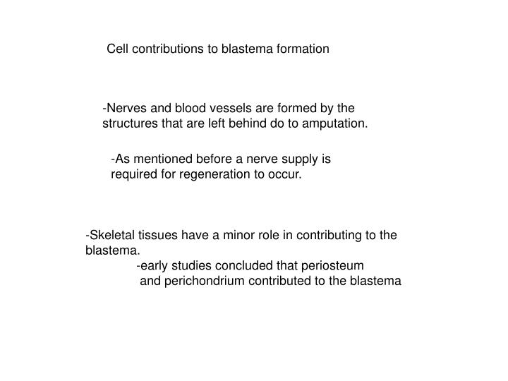 Cell contributions to blastema formation