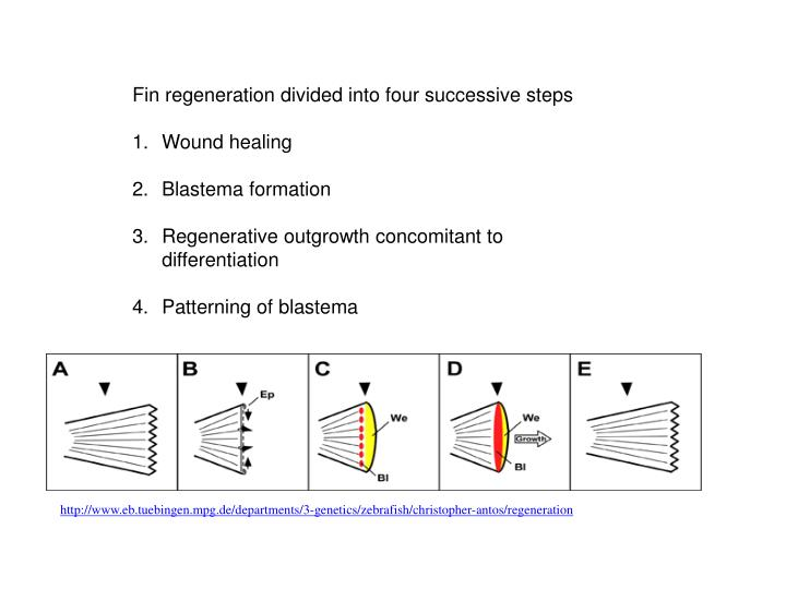 Fin regeneration divided into four successive steps
