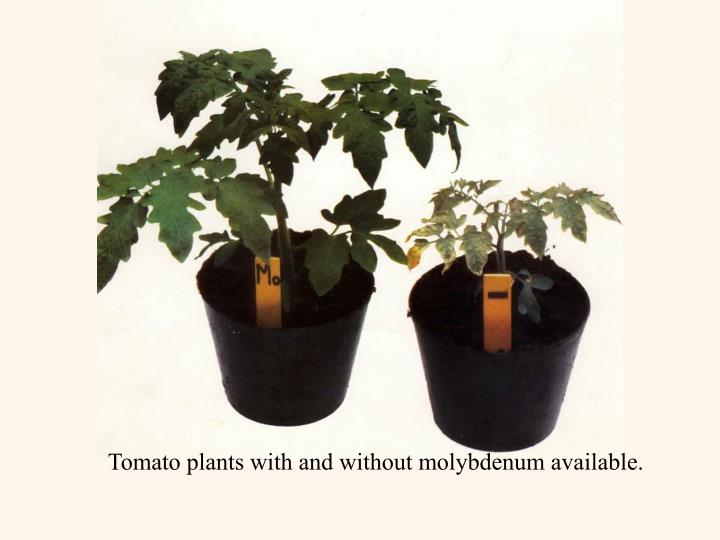 Tomato plants with and without molybdenum available.