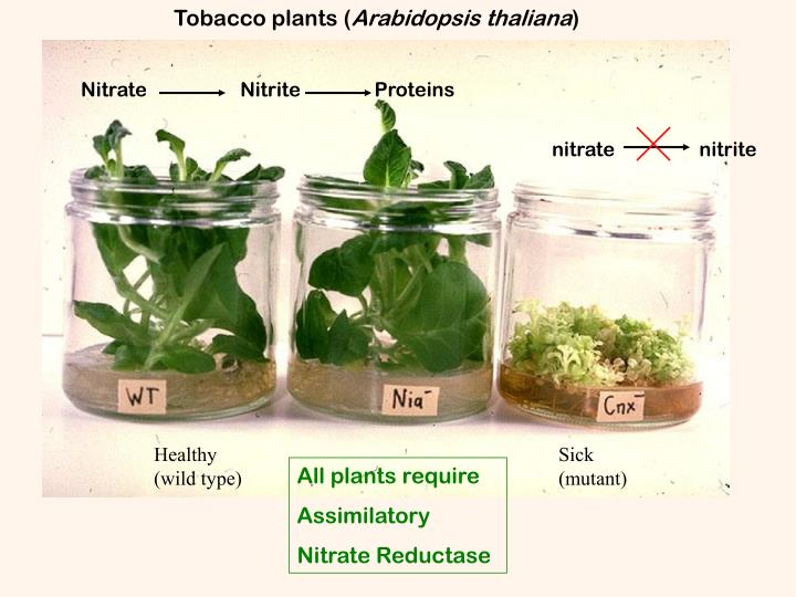 Tobacco plants (