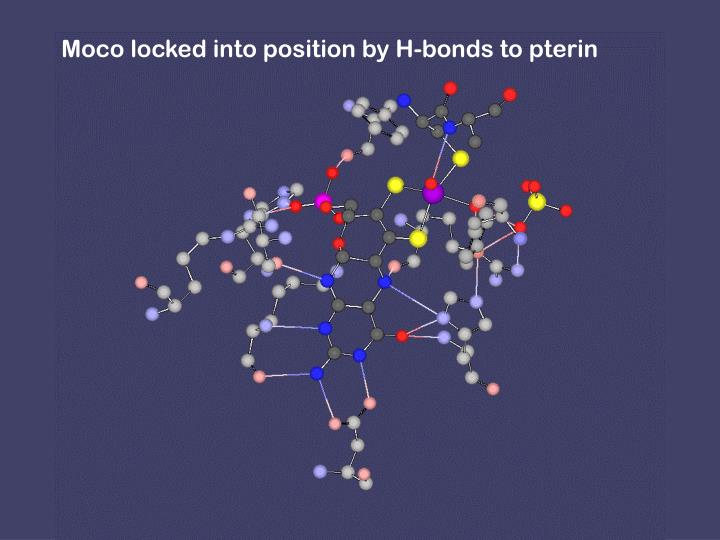 Moco locked into position by H-bonds to pterin
