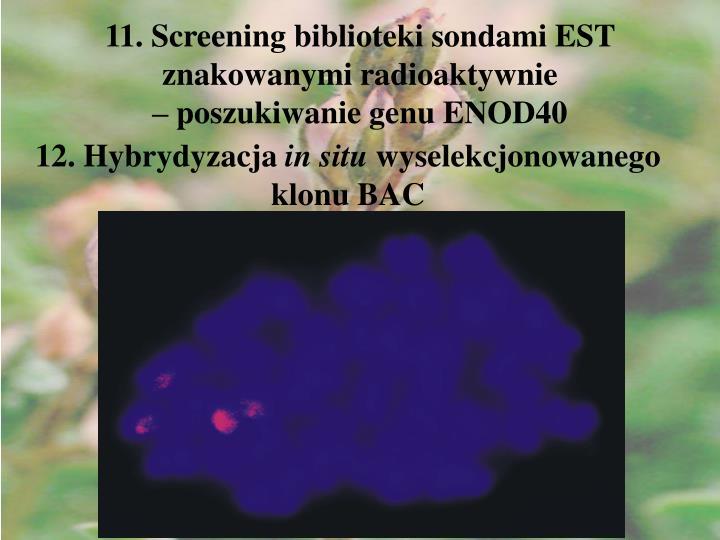 11. Screening biblioteki sondami EST znakowanymi radioaktywnie                                  – poszukiwanie genu ENOD40