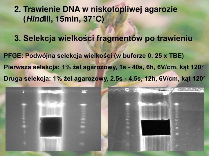 2. Trawienie DNA w niskotopliwej agarozie