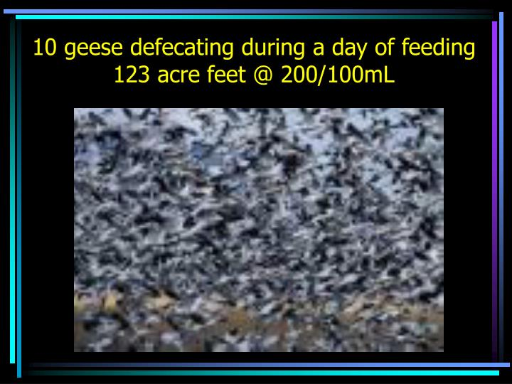10 geese defecating during a day of feeding