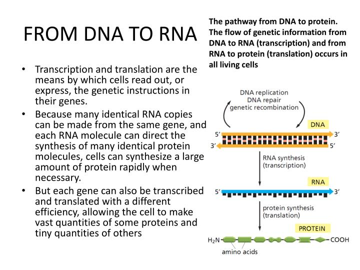 FROM DNA TO RNA