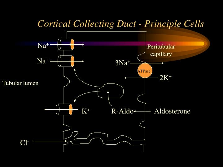 Cortical Collecting Duct - Principle Cells