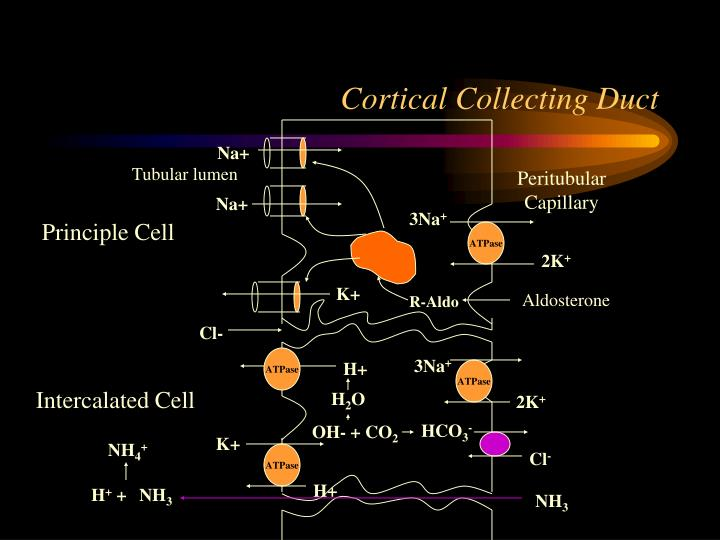 Cortical Collecting Duct