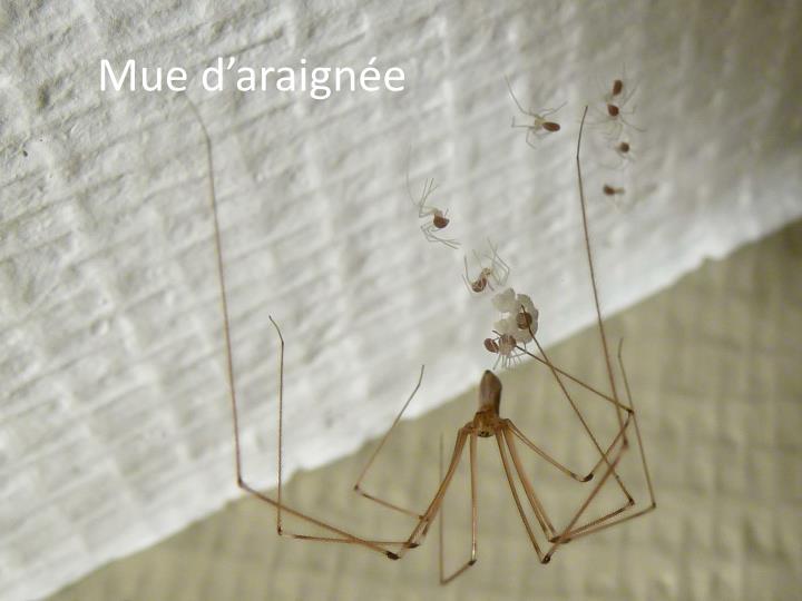 Mue d'araignée