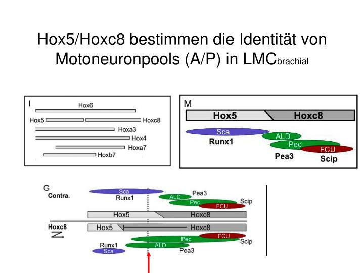 Hox5/Hoxc8 bestimmen die Identität von Motoneuronpools (A/P) in LMC