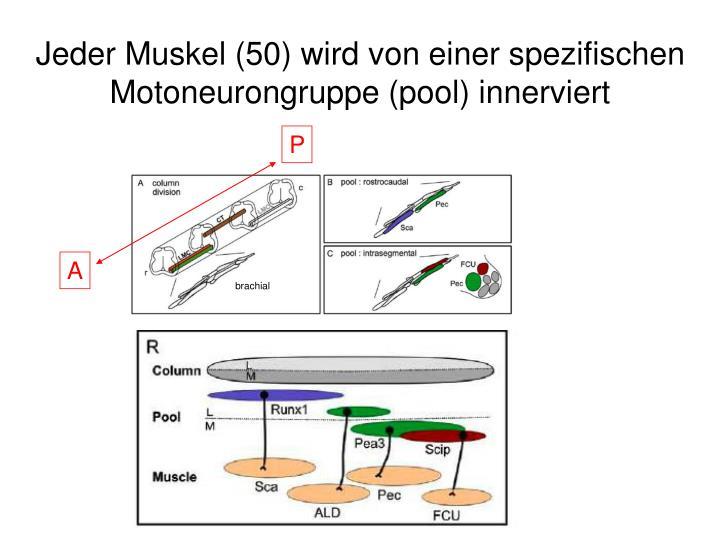 Jeder Muskel (50) wird von einer spezifischen Motoneurongruppe (pool) innerviert