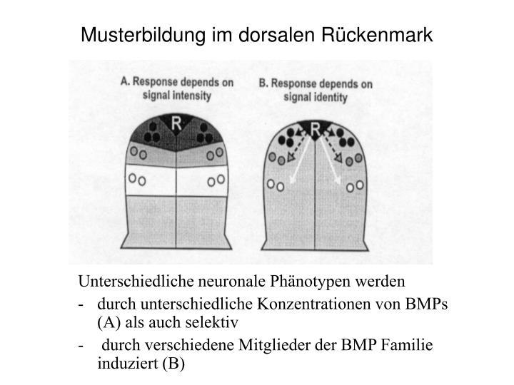 Musterbildung im dorsalen Rückenmark