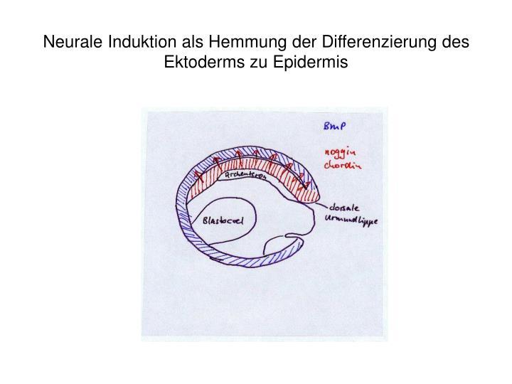 Neurale Induktion als Hemmung der Differenzierung des Ektoderms zu Epidermis