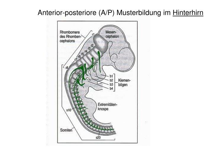 Anterior-posteriore (A/P) Musterbildung im