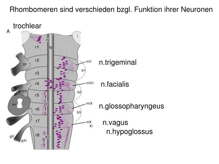 Rhombomeren sind verschieden bzgl. Funktion ihrer Neuronen