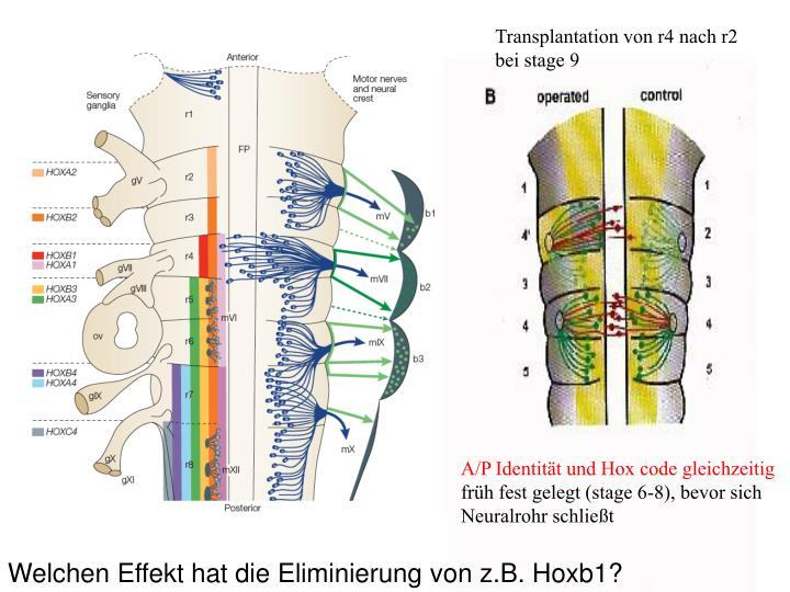 Transplantation von r4 nach r2