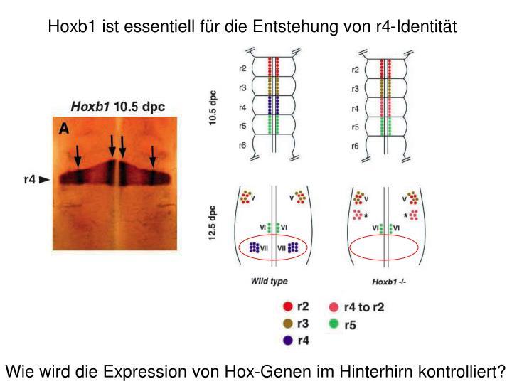 Hoxb1 ist essentiell für die Entstehung von r4-Identität