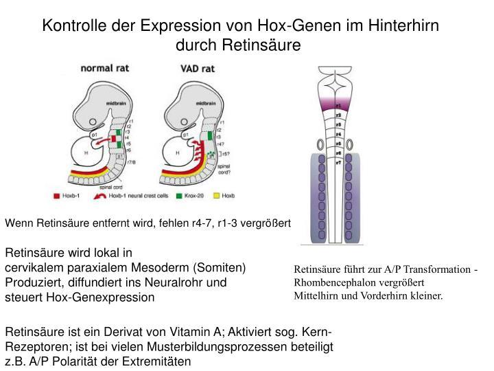 Kontrolle der Expression von Hox-Genen im Hinterhirn