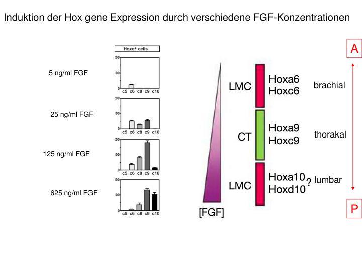 Induktion der Hox gene Expression durch verschiedene FGF-Konzentrationen