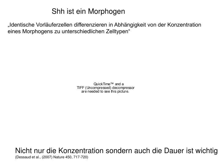 Shh ist ein Morphogen