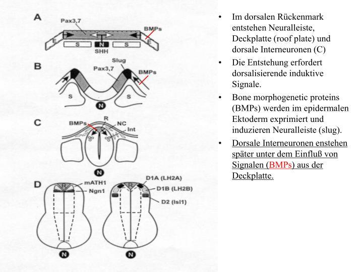 Im dorsalen Rückenmark entstehen Neuralleiste, Deckplatte (roof plate) und dorsale Interneuronen (C)