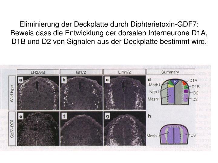 Eliminierung der Deckplatte durch Diphterietoxin-GDF7: