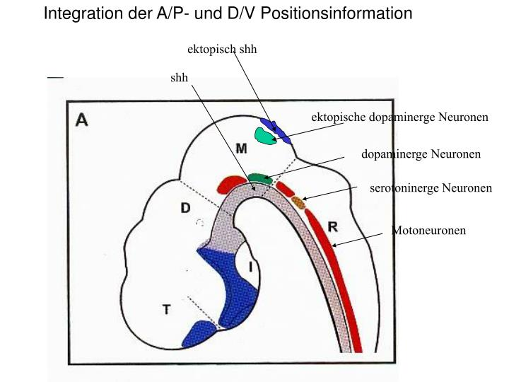 Integration der A/P- und D/V Positionsinformation