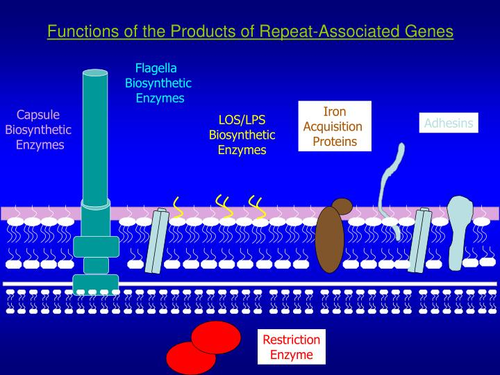 Functions of the Products of Repeat-Associated Genes