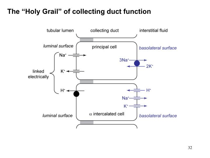 "The ""Holy Grail"" of collecting duct function"